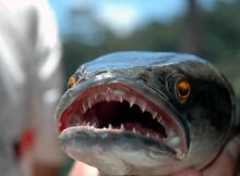 snakehead fish face