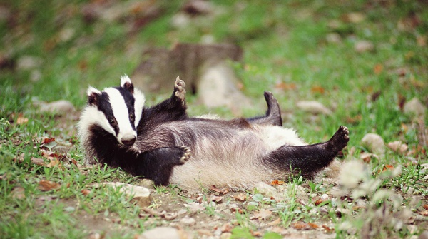Clumsy badger