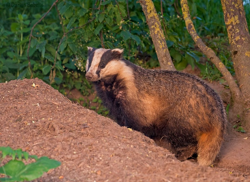 Cave of badger