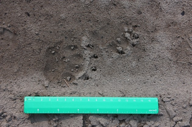 Footprint badger