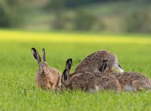 European hare family