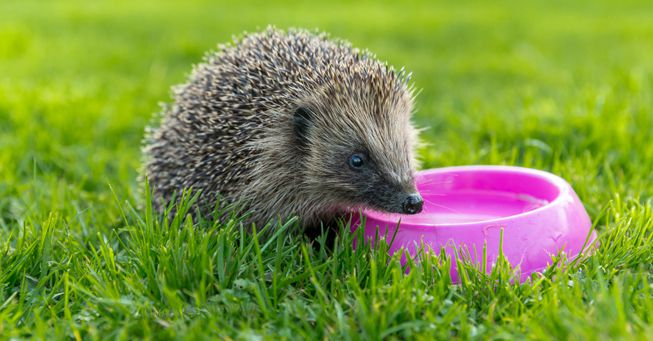 Hedgehogs also struggling to find water sources during heatwaves.
