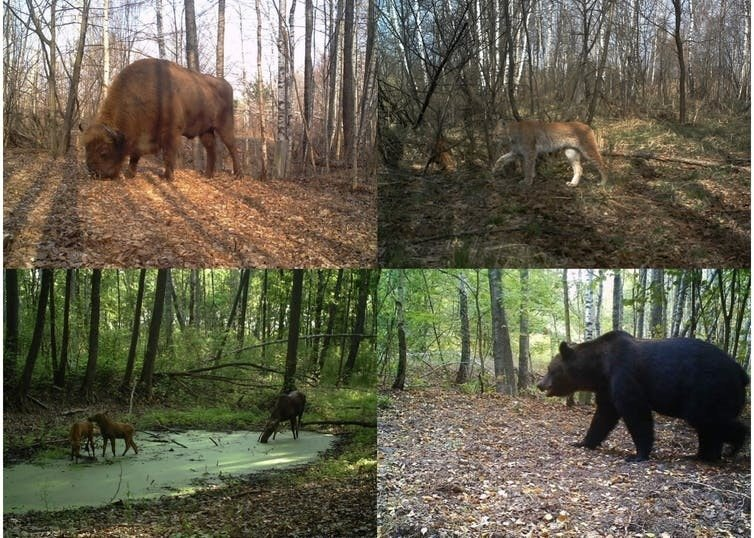 Large fauna at Chernobyl