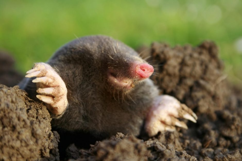 Little fury happy mole
