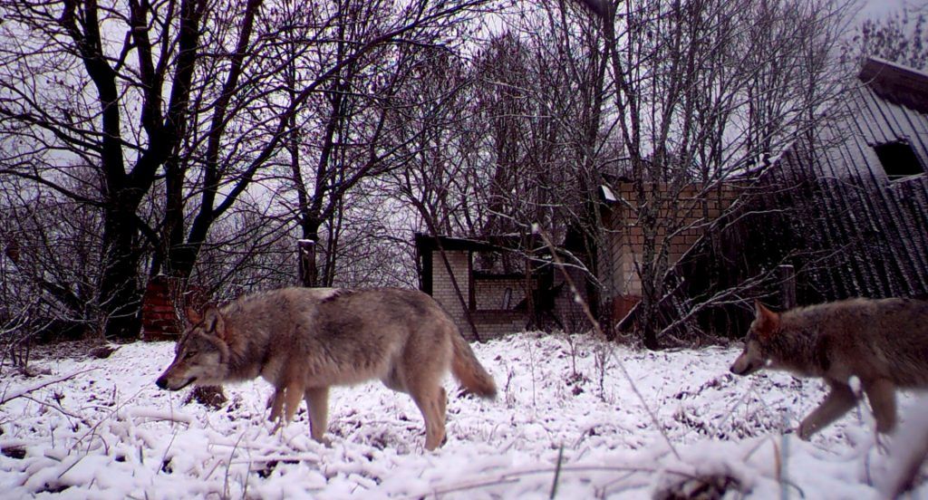 Pack of wolves in Chernobyl.