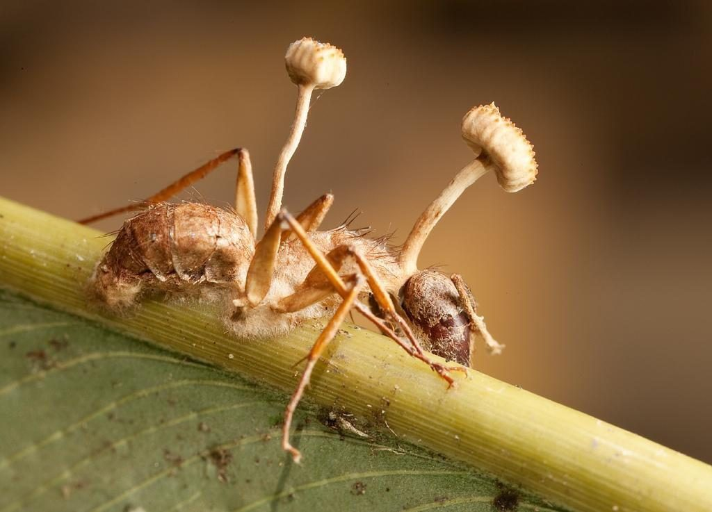 Ants which live in Brazil Amazon forest can be hosts of a parasitic fungus which takes over control of ants' bodies.